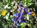 Eine sehr schöne blau-gelbe Blüte die oft in den Bergen zu finden ist.